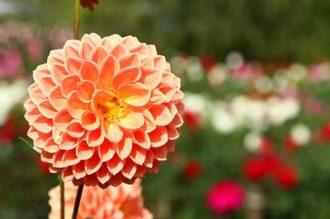 両神山麓花の郷 ダリア園の画像